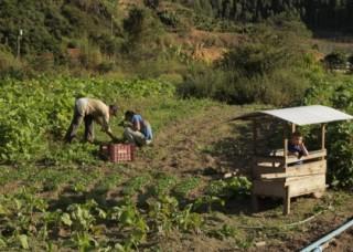 Foto de um homem e uma mulher coletando legumes de uma plantação, uma criança está dentro de uma carriola de verduras um pouco mais ao longe.